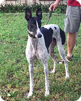 Greyhound Dog for adoption in Canadensis, Pennsylvania - Why Not Mighty Dog