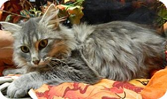 Domestic Mediumhair Cat for adoption in Columbus, Nebraska - Georganne