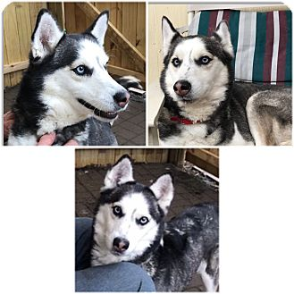 Husky Mix Dog for adoption in Boyertown, Pennsylvania - Sheena