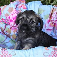 Adopt A Pet :: DAHLIA - Newport Beach, CA