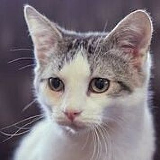 Domestic Shorthair Cat for adoption in Nashville, Tennessee - Prince