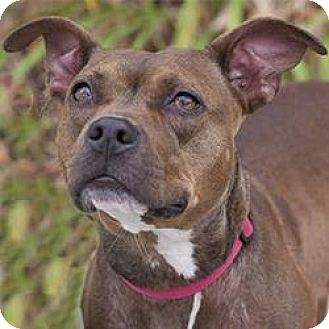 American Pit Bull Terrier Mix Dog for adoption in Hilliard, Ohio - Blondie