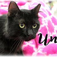 Domestic Shorthair Cat for adoption in Wichita Falls, Texas - Uni