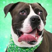 Adopt A Pet :: Gambler - Cincinnati, OH