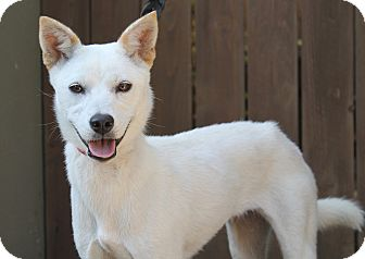 Jindo Mix Puppy for adoption in Los Angeles, California - Remi - from S. Korea