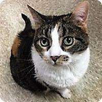Domestic Shorthair Cat for adoption in Medina, Ohio - Cali