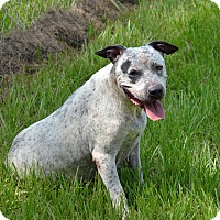 Catahoula Leopard Dog Mix Dog for adoption in Brooksville, Florida - 10311911 DIXIE
