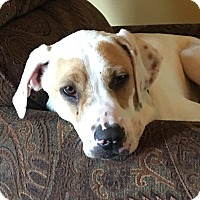 Boxer/Hound (Unknown Type) Mix Dog for adoption in Rochester, New York - Nutters