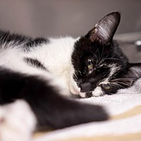 Domestic Shorthair Cat for adoption in Birdsboro, Pennsylvania - Jag