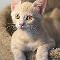 Adopt A Pet :: Ashur - Montclair, CA