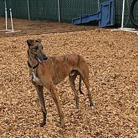 Adopt A Pet :: Joby - Santa Rosa, CA
