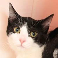 Adopt A Pet :: Tux (+ Chiplet) - Richmond Hill, ON