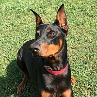 Adopt A Pet :: Eliza - Arlington, VA
