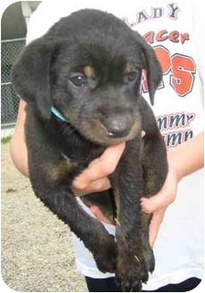 Australian Shepherd/Labrador Retriever Mix Puppy for adoption in Florence, Indiana - Lexi
