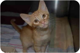 Domestic Mediumhair Kitten for adoption in Putnam Hall, Florida - HOPPER