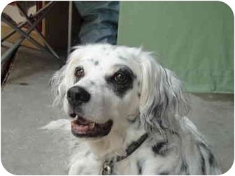 English Setter/Setter (Unknown Type) Mix Dog for adoption in Columbus, Ohio - Duckie-HOSPICE