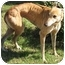 Photo 2 - Greyhound Dog for adoption in Dallas, Texas - Gikka