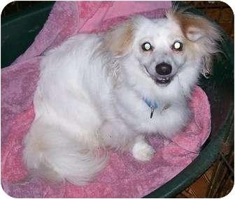 Dachshund/Papillon Mix Dog for adoption in Oak Ridge, New Jersey - Zeke
