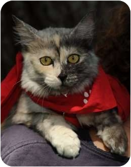 Calico Cat for adoption in Los Angeles, California - Jewel - $50 Aug 13-19