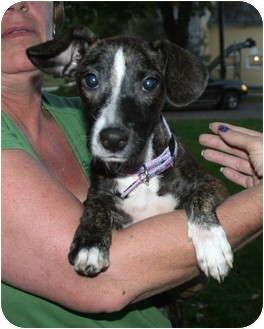 Greyhound Mix Puppy for adoption in Salamanca, New York - Brandy