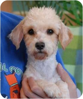 Maltese/Poodle (Toy or Tea Cup) Mix Puppy for adoption in Las Vegas, Nevada - Snooki