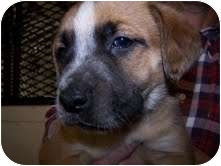 St. Bernard Mix Puppy for adoption in Waterbury, Connecticut - Hoots
