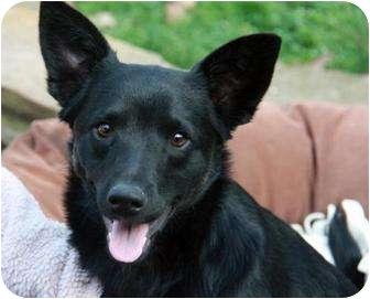 German Shepherd Dog/Chihuahua Mix Dog for adoption in Smyrna, Georgia - Griffin