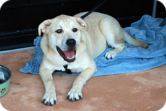 St. Bernard/Chow Chow Mix Puppy for adoption in Minneola, Florida - Toby