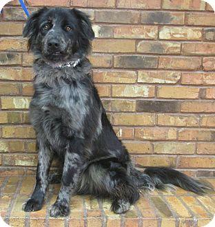 Australian Shepherd/Catahoula Leopard Dog Mix Dog for adoption in Benbrook, Texas - Rambo