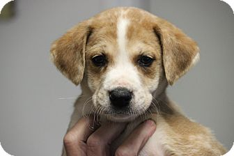 Catahoula Leopard Dog/Boxer Mix Puppy for adoption in Oakville, Connecticut - Shaw