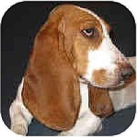 Adopt A Pet :: Indie - Phoenix, AZ