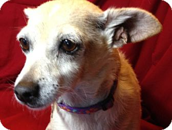 Rat Terrier/Chihuahua Mix Dog for adoption in San Leandro, California - Penny