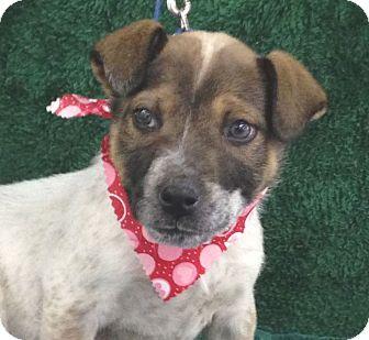 Pointer/Australian Cattle Dog Mix Puppy for adoption in Allentown, New Jersey - Brooks