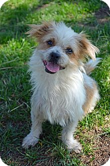 Norfolk Terrier/Shih Tzu Mix Dog for adoption in Mountain Center, California - Collin