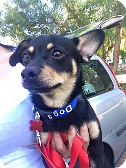 Chihuahua/Dachshund Mix Dog for adoption in Encino, California - Ace