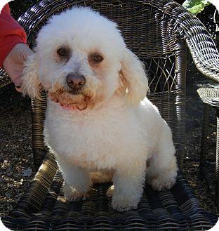 Bichon Frise/Poodle (Miniature) Mix Dog for adoption in Houston, Texas - Honey Bunn