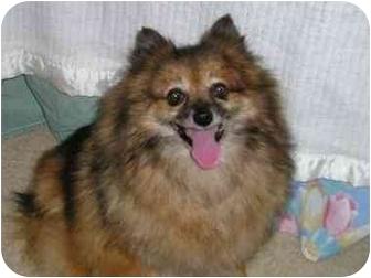 Pomeranian Dog for adoption in Williamsburg, Virginia - Mya