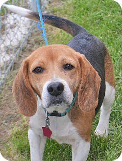 Beagle Mix Dog for adoption in Fruit Heights, Utah - Lavern