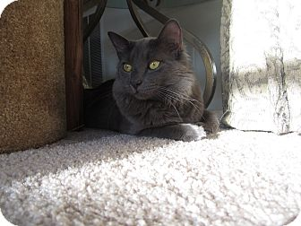 Domestic Mediumhair Cat for adoption in Trevose, Pennsylvania - Mr Claus