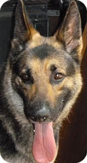 German Shepherd Dog Dog for adoption in Houston, Texas - Jameson