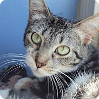 Adopt A Pet :: Mojave G'Day - Chicago, IL