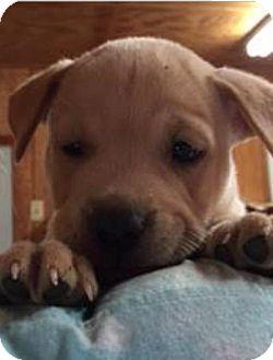 Labrador Retriever/Terrier (Unknown Type, Medium) Mix Puppy for adoption in Barnegat, New Jersey - Scampi
