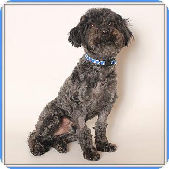 Poodle (Miniature) Mix Dog for adoption in Glendale, Arizona - Ziggy
