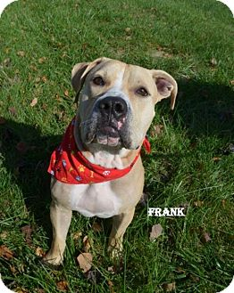 American Bulldog/Mastiff Mix Dog for adoption in Independence, Missouri - Frank the Tank