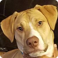 Adopt A Pet :: Lucy - Denton, TX