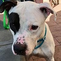 Adopt A Pet :: Rascal - pit bull mix - Dallas, TX