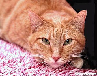 Domestic Shorthair Kitten for adoption in Westchester, California - Jasper