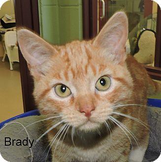 Domestic Shorthair Kitten for adoption in Slidell, Louisiana - Brady