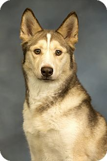 Husky Mix Dog for adoption in Anchorage, Alaska - Luna