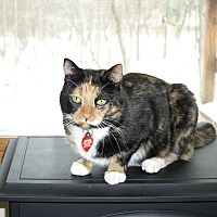 Domestic Shorthair Cat for adoption in Sanford, Michigan - Cinnamon